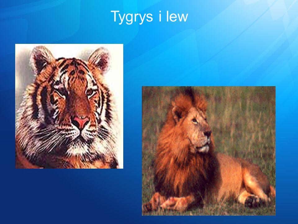 Tygrys i lew