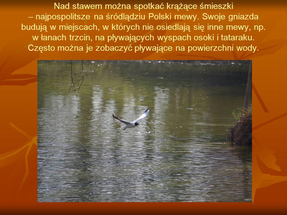 Nad stawem można spotkać krążące śmieszki – najpospolitsze na śródlądziu Polski mewy.