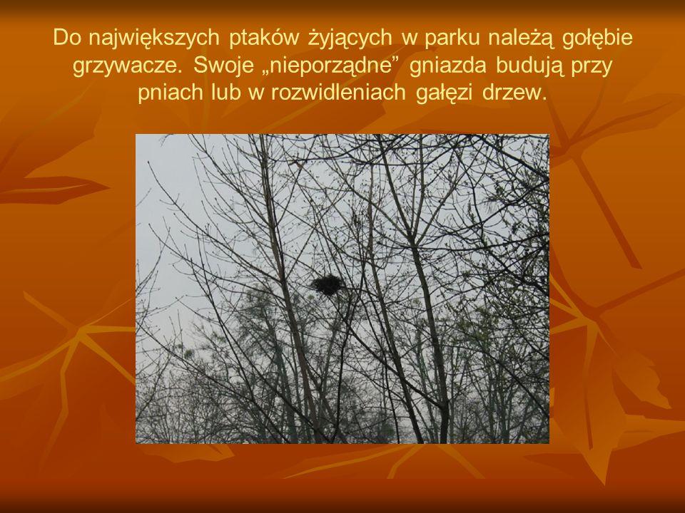 Do największych ptaków żyjących w parku należą gołębie grzywacze