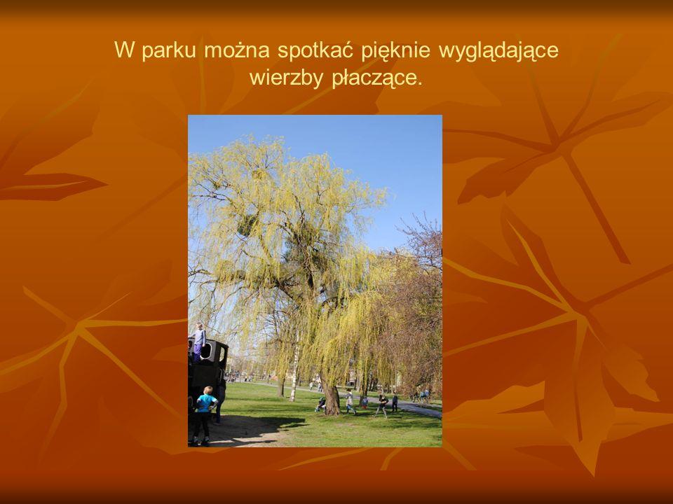 W parku można spotkać pięknie wyglądające wierzby płaczące.