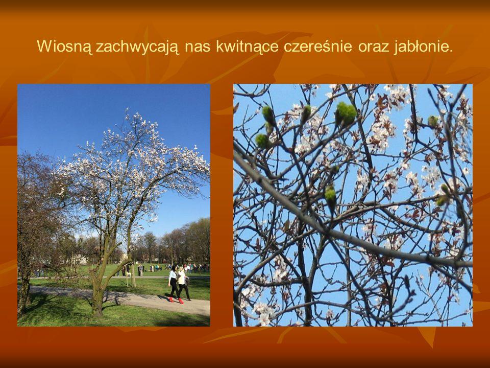 Wiosną zachwycają nas kwitnące czereśnie oraz jabłonie.