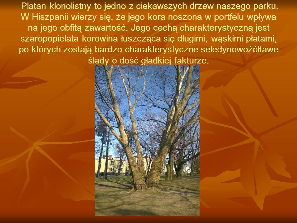 Platan klonolistny to jedno z ciekawszych drzew naszego parku