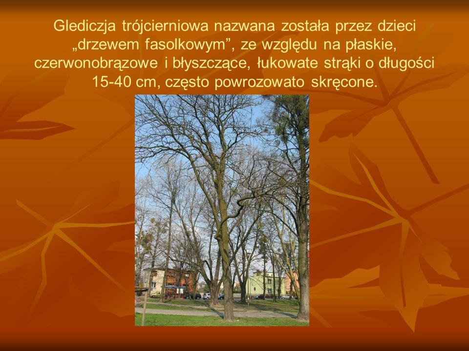 """Glediczja trójcierniowa nazwana została przez dzieci """"drzewem fasolkowym , ze względu na płaskie, czerwonobrązowe i błyszczące, łukowate strąki o długości 15-40 cm, często powrozowato skręcone."""