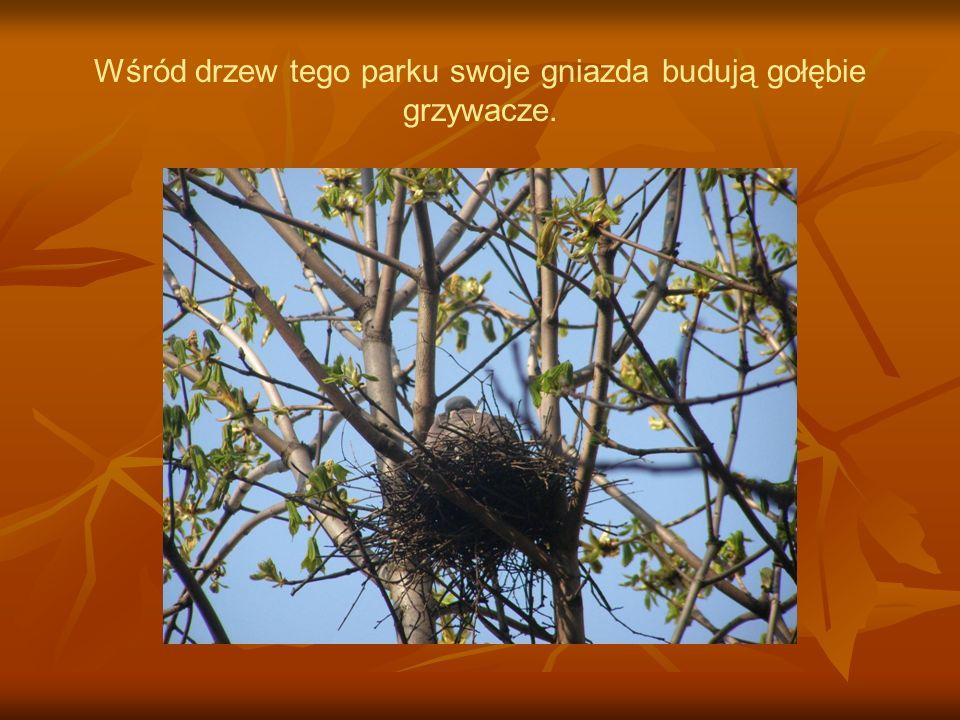 Wśród drzew tego parku swoje gniazda budują gołębie grzywacze.