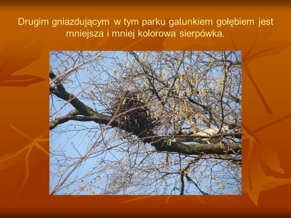 Drugim gniazdującym w tym parku gatunkiem gołębiem jest mniejsza i mniej kolorowa sierpówka.
