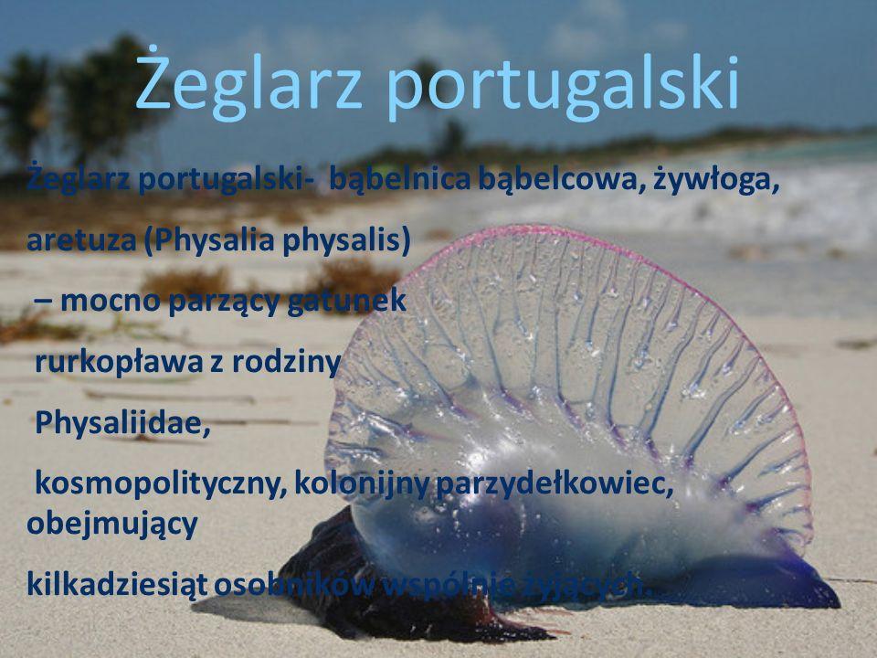 Żeglarz portugalski Żeglarz portugalski- bąbelnica bąbelcowa, żywłoga,