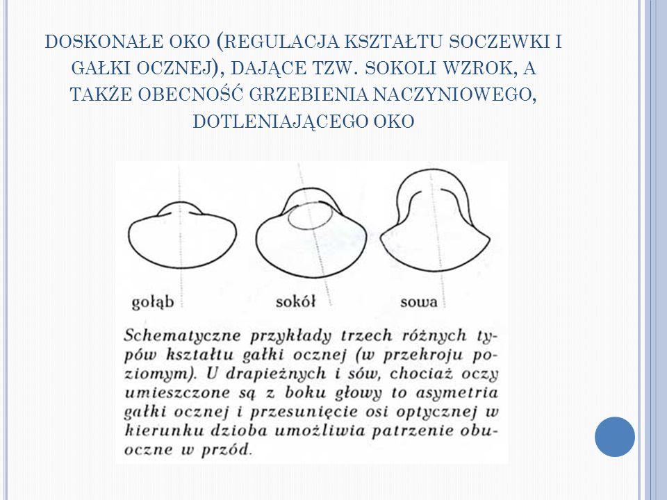 doskonałe oko (regulacja kształtu soczewki i gałki ocznej), dające tzw