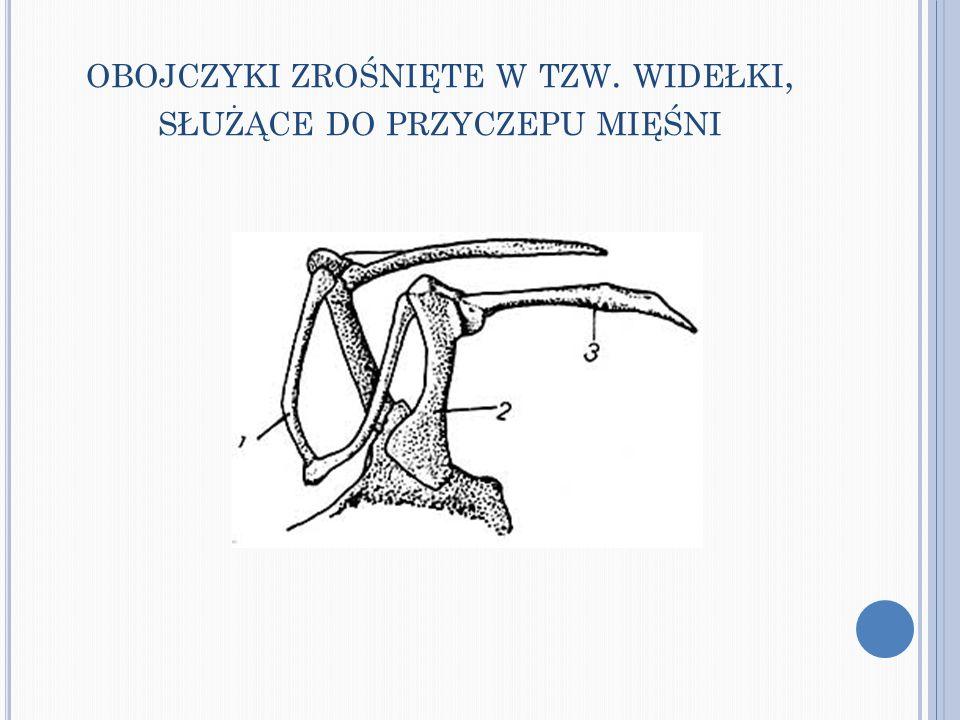 obojczyki zrośnięte w tzw. widełki, służące do przyczepu mięśni