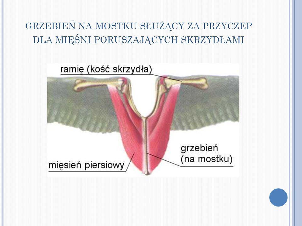 grzebień na mostku służący za przyczep dla mięśni poruszających skrzydłami