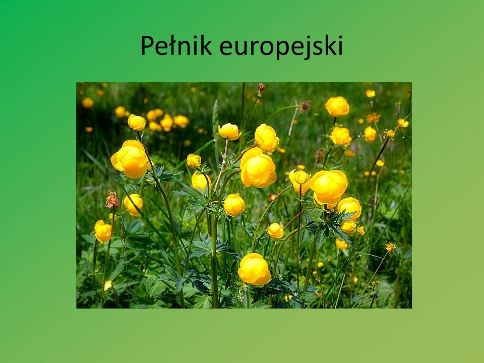 Pełnik europejski