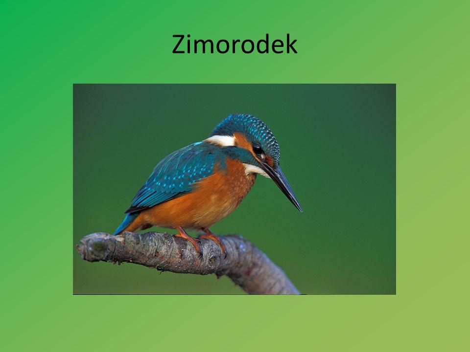 Zimorodek