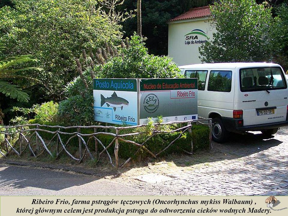 Ribeiro Frio, farma pstrągów tęczowych (Oncorhynchus mykiss Walbaum) ,