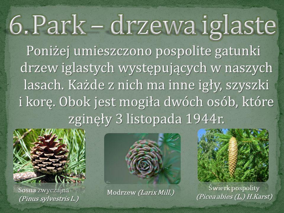 (Picea abies (L.) H.Karst)