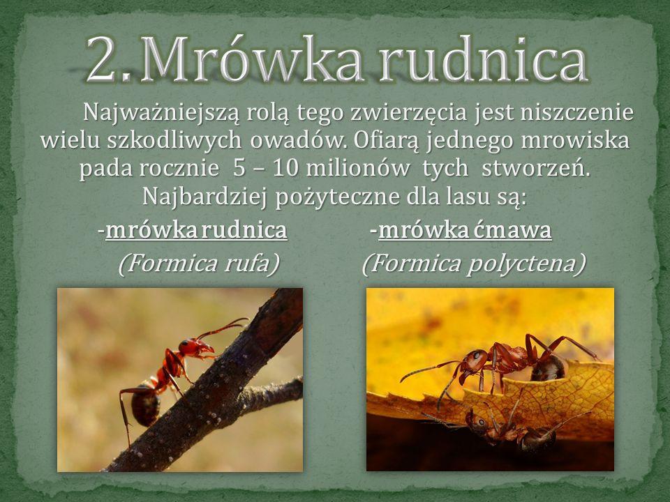 Mrówka rudnica -mrówka rudnica -mrówka ćmawa