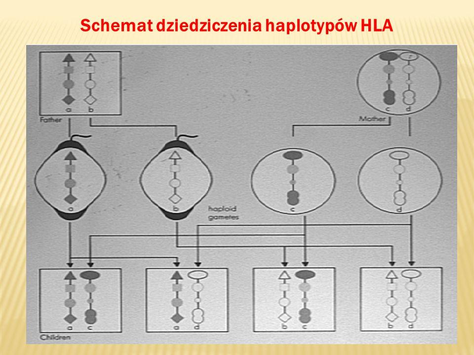 Schemat dziedziczenia haplotypów HLA