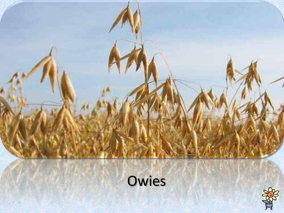Owies