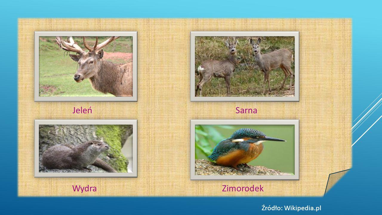 Jeleń Sarna Wydra Zimorodek Źródło: Wikipedia.pl