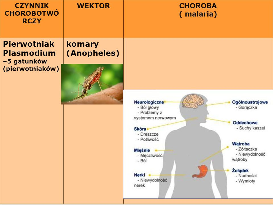 Pierwotniak Plasmodium komary (Anopheles) WEKTOR CHOROBA ( malaria)