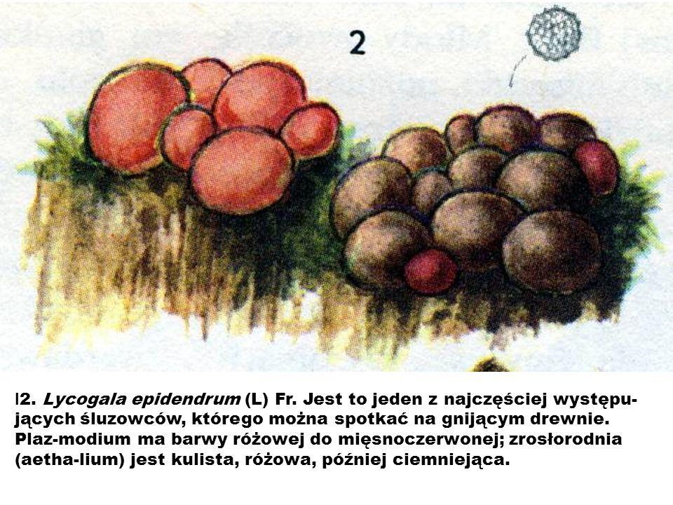 l2. Lycogala epidendrum (L) Fr