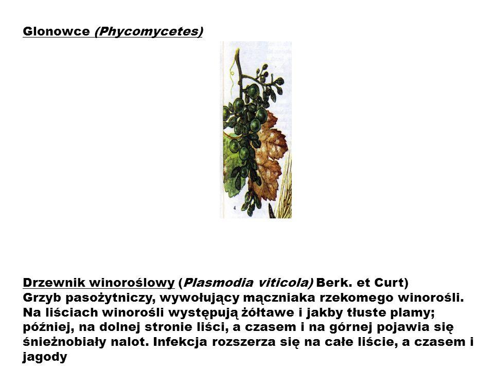 Glonowce (Phycomycetes)