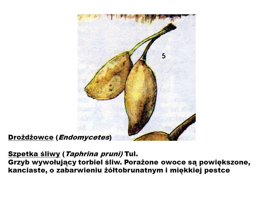 Drożdżowce (Endomycetes) Szpetka śliwy (Taphrina pruni) Tul.
