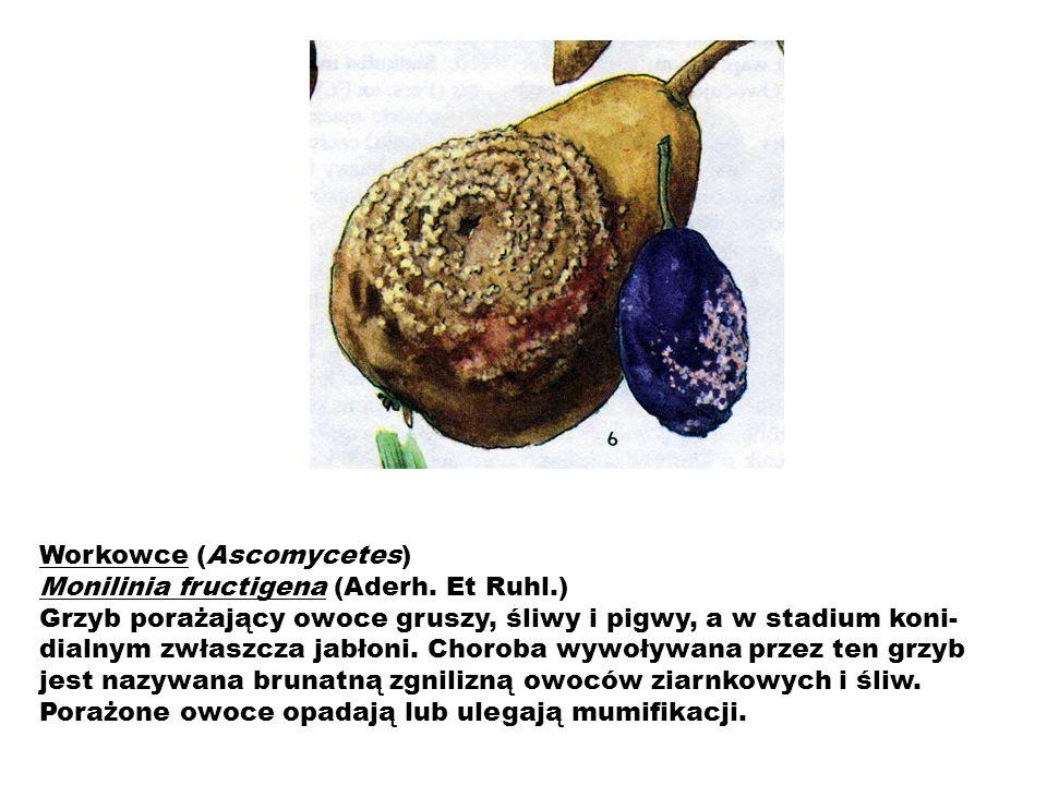 Workowce (Ascomycetes) Monilinia fructigena (Aderh. Et Ruhl.)