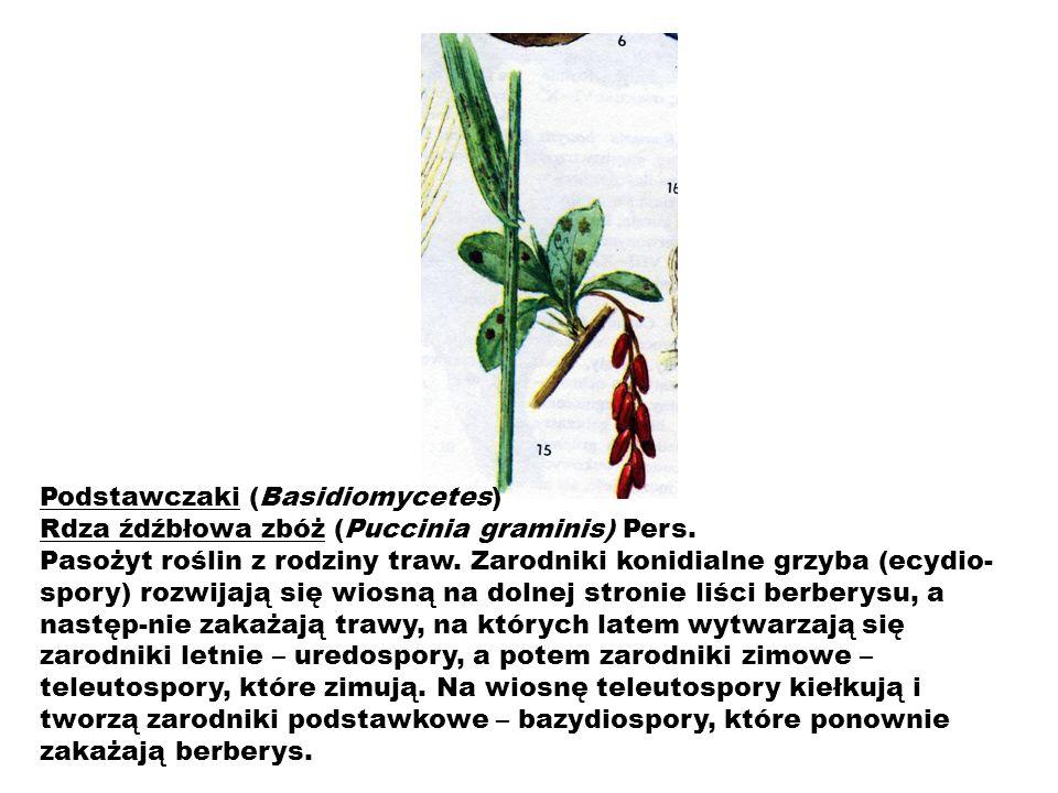 Podstawczaki (Basidiomycetes)