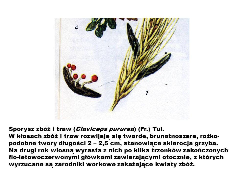 Sporysz zbóż i traw (Claviceps pururea) (Fr.) Tul.