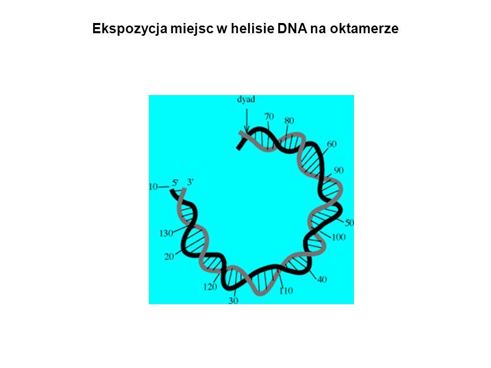 Ekspozycja miejsc w helisie DNA na oktamerze