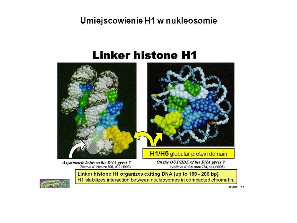 Umiejscowienie H1 w nukleosomie