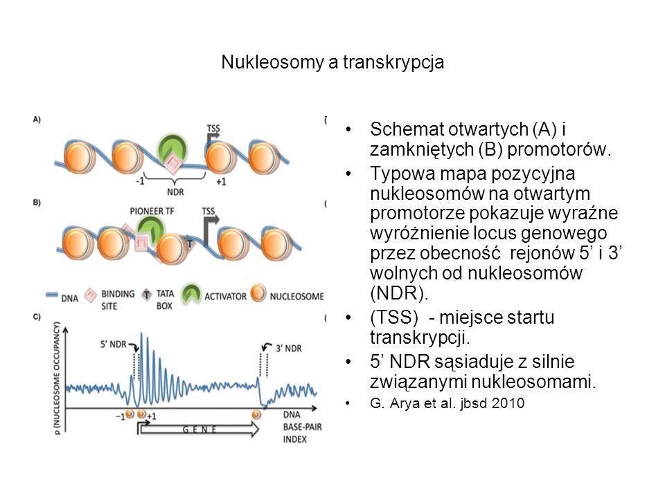 Nukleosomy a transkrypcja