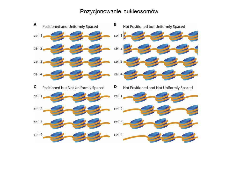 Pozycjonowanie nukleosomów