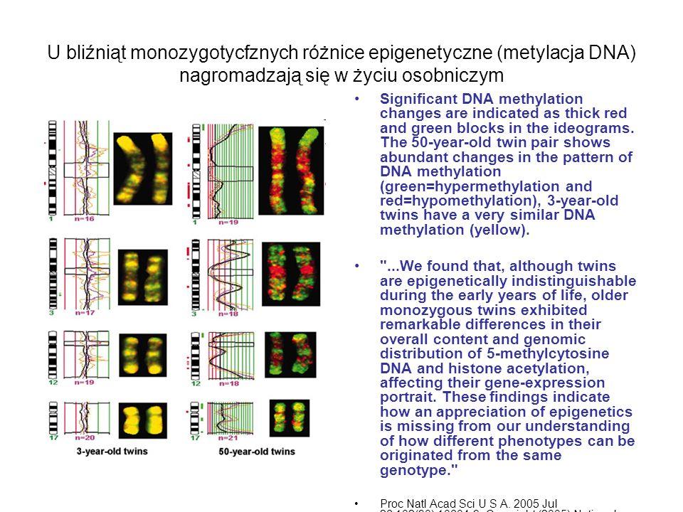 U bliźniąt monozygotycfznych różnice epigenetyczne (metylacja DNA) nagromadzają się w życiu osobniczym
