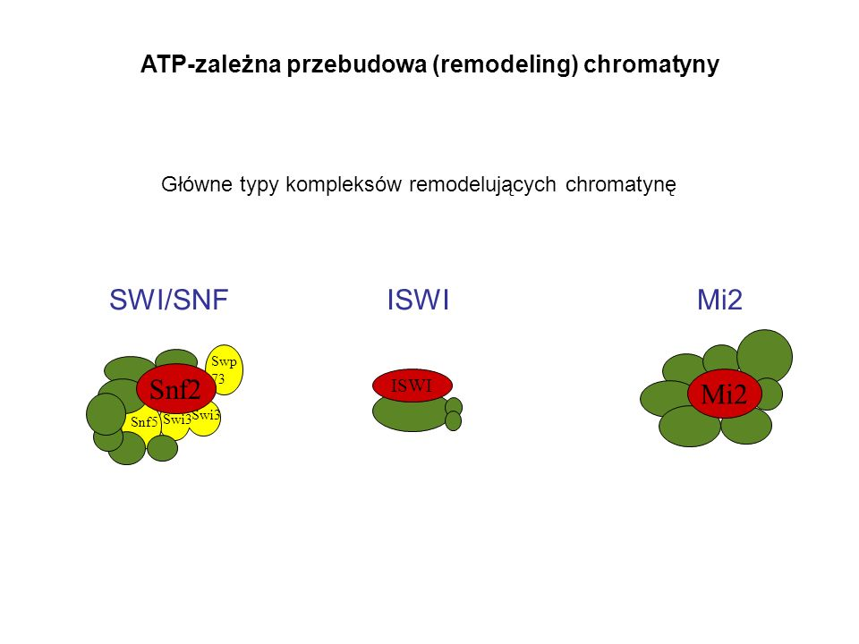 SWI/SNF ISWI Mi2 Snf2 ATP-zależna przebudowa (remodeling) chromatyny
