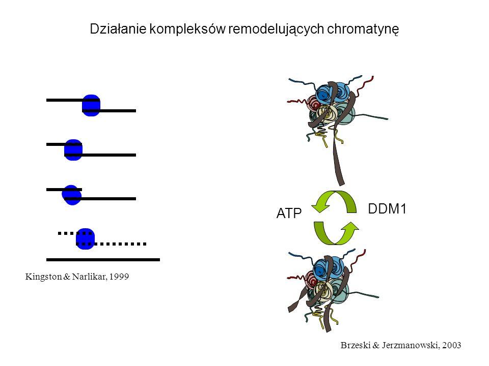Działanie kompleksów remodelujących chromatynę