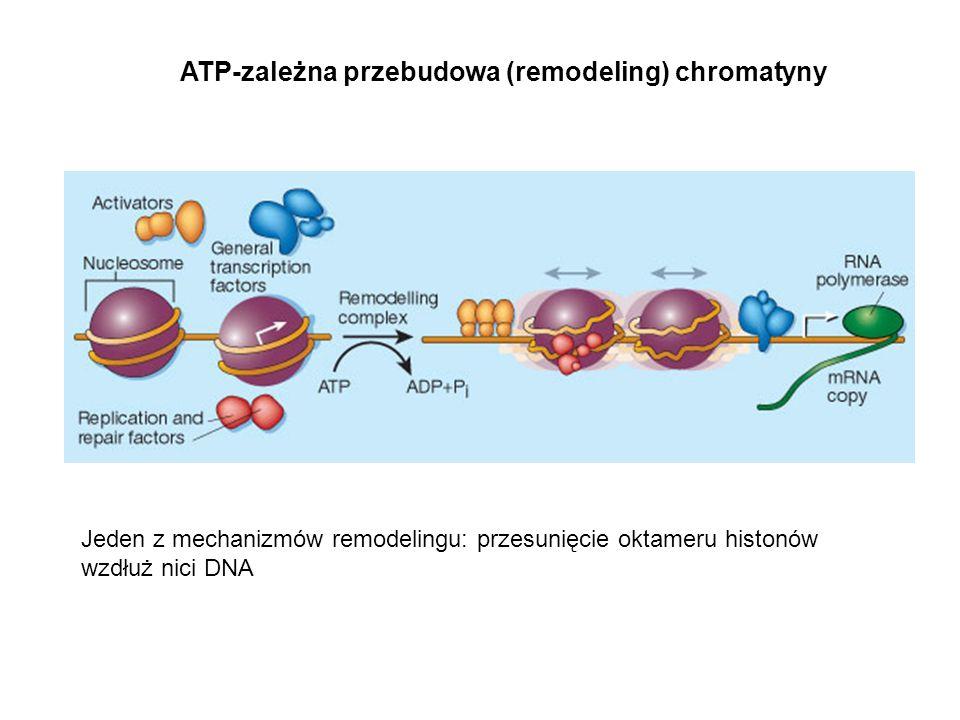ATP-zależna przebudowa (remodeling) chromatyny