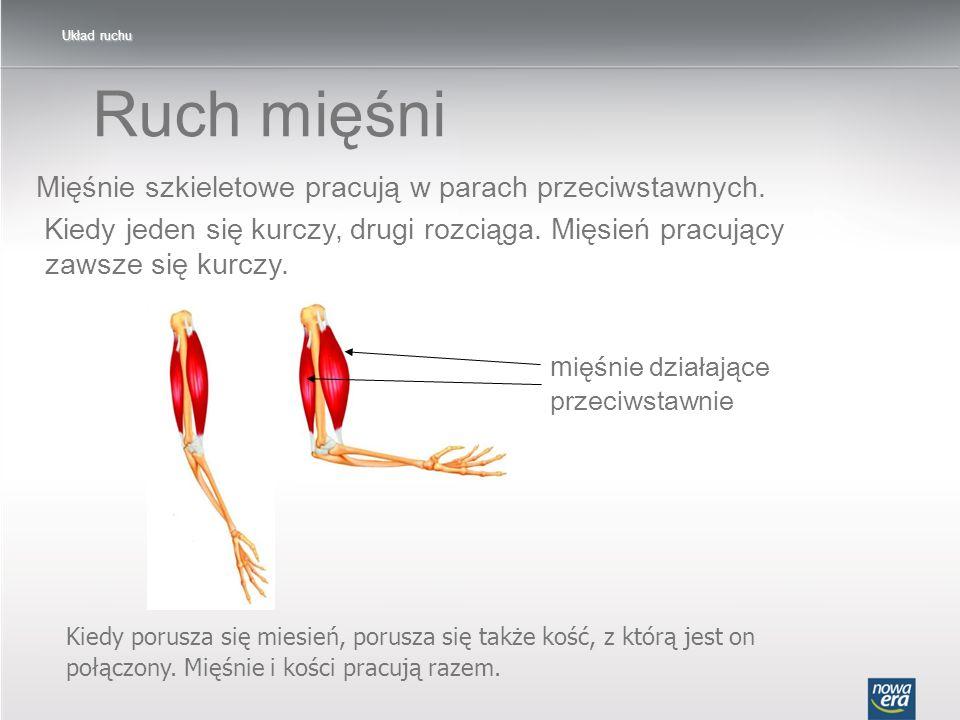 Ruch mięśni Mięśnie szkieletowe pracują w parach przeciwstawnych.