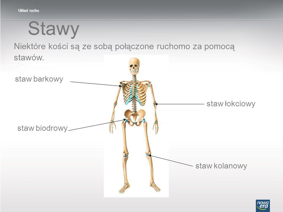 Stawy Niektóre kości są ze sobą połączone ruchomo za pomocą stawów.