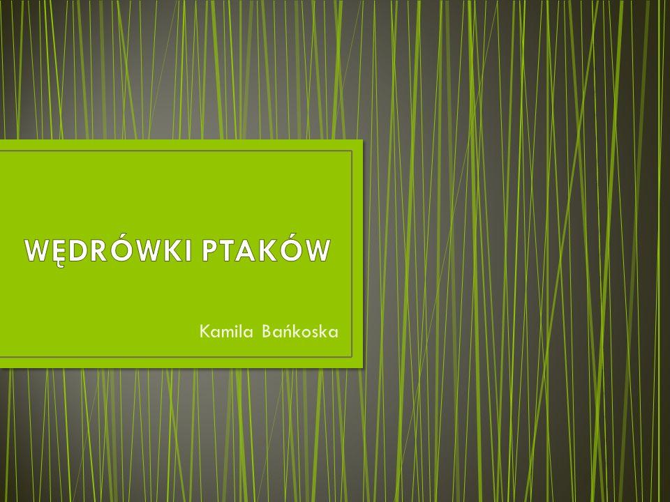 WĘDRÓWKI PTAKÓW Kamila Bańkoska