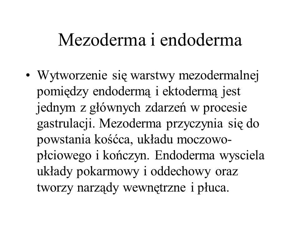 Mezoderma i endoderma