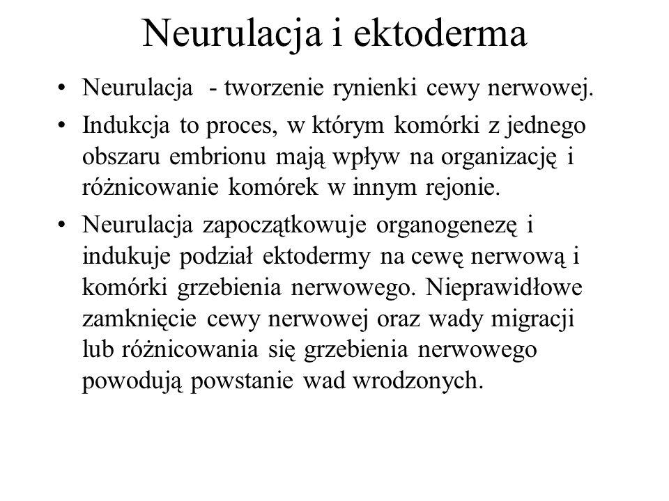 Neurulacja i ektoderma