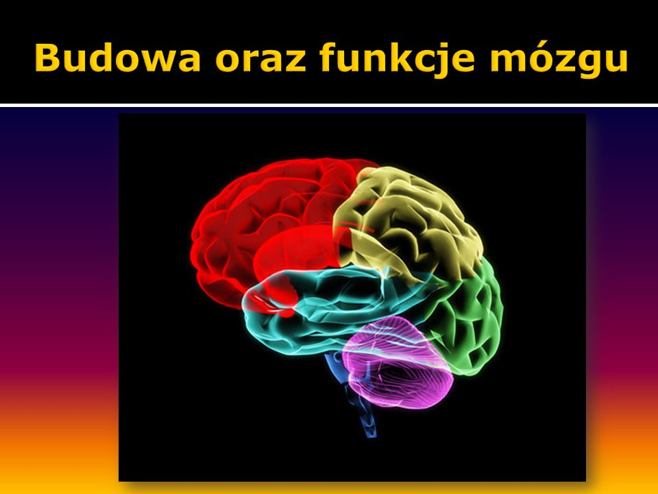 Budowa oraz funkcje mózgu