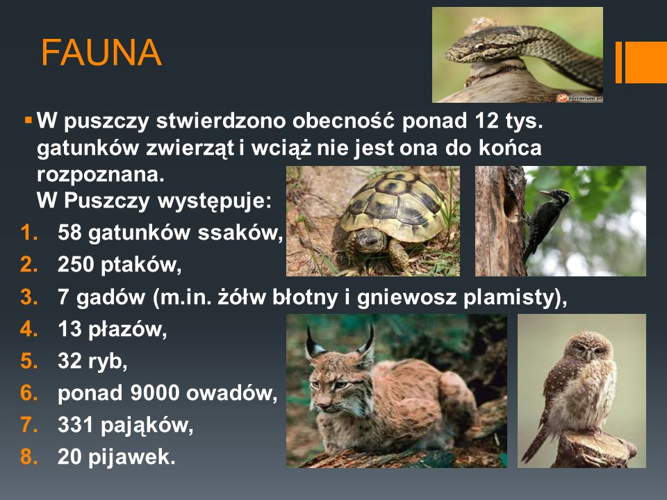 FAUNA W puszczy stwierdzono obecność ponad 12 tys. gatunków zwierząt i wciąż nie jest ona do końca rozpoznana. W Puszczy występuje:
