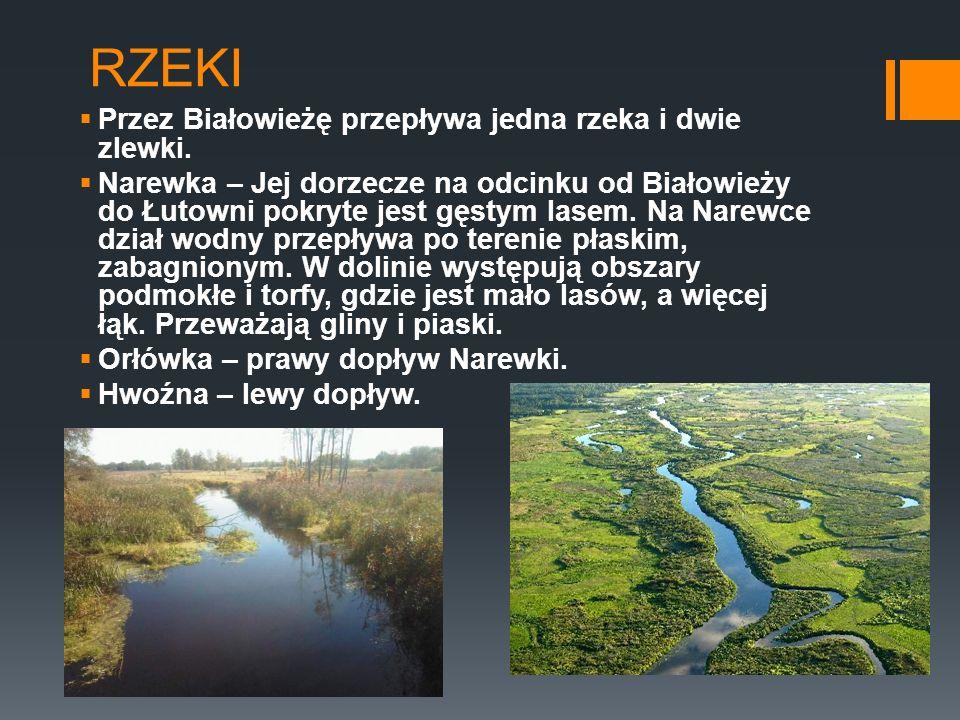 RZEKI Przez Białowieżę przepływa jedna rzeka i dwie zlewki.
