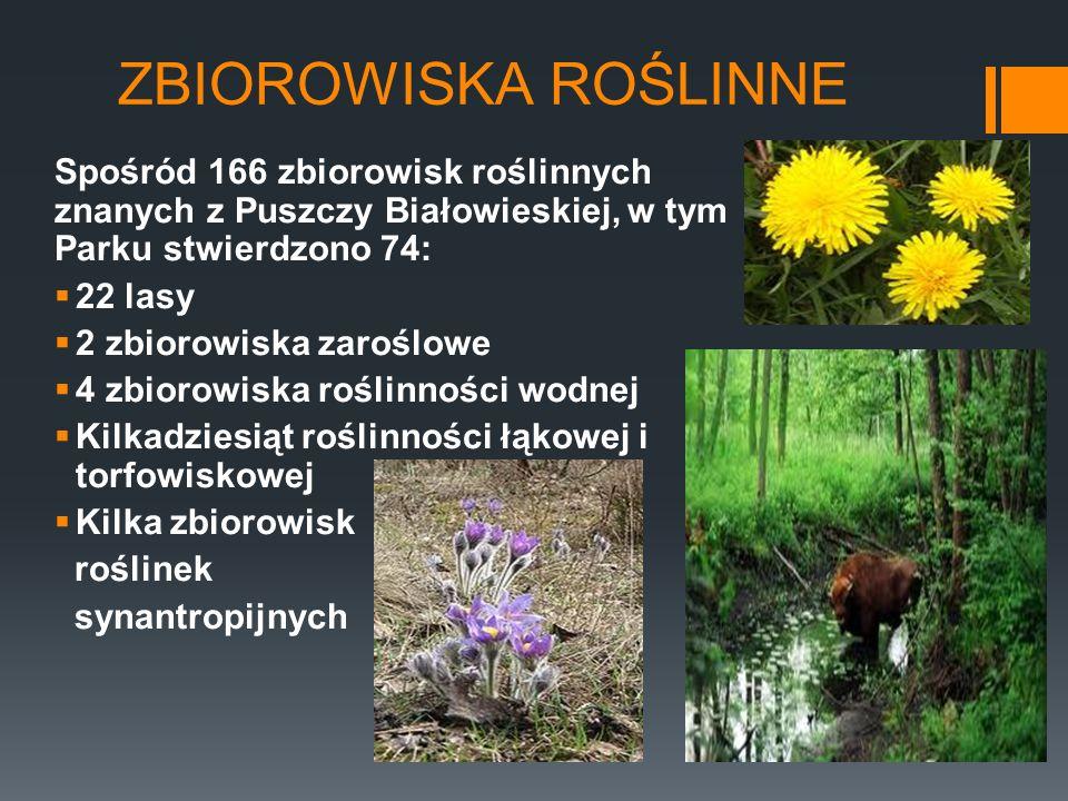 ZBIOROWISKA ROŚLINNE Spośród 166 zbiorowisk roślinnych znanych z Puszczy Białowieskiej, w tym Parku stwierdzono 74: