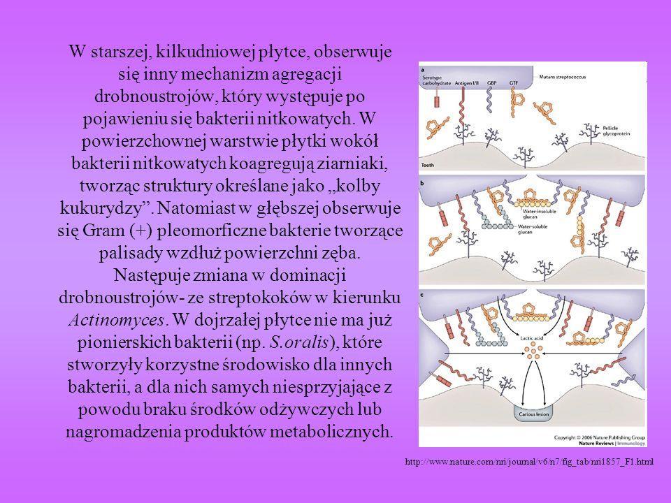 """W starszej, kilkudniowej płytce, obserwuje się inny mechanizm agregacji drobnoustrojów, który występuje po pojawieniu się bakterii nitkowatych. W powierzchownej warstwie płytki wokół bakterii nitkowatych koagregują ziarniaki, tworząc struktury określane jako """"kolby kukurydzy . Natomiast w głębszej obserwuje się Gram (+) pleomorficzne bakterie tworzące palisady wzdłuż powierzchni zęba. Następuje zmiana w dominacji drobnoustrojów- ze streptokoków w kierunku Actinomyces. W dojrzałej płytce nie ma już pionierskich bakterii (np. S.oralis), które stworzyły korzystne środowisko dla innych bakterii, a dla nich samych niesprzyjające z powodu braku środków odżywczych lub nagromadzenia produktów metabolicznych."""