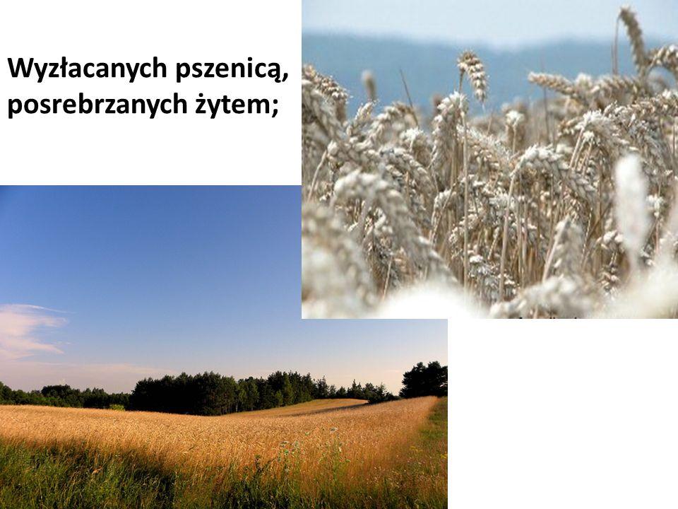 Wyzłacanych pszenicą, posrebrzanych żytem;