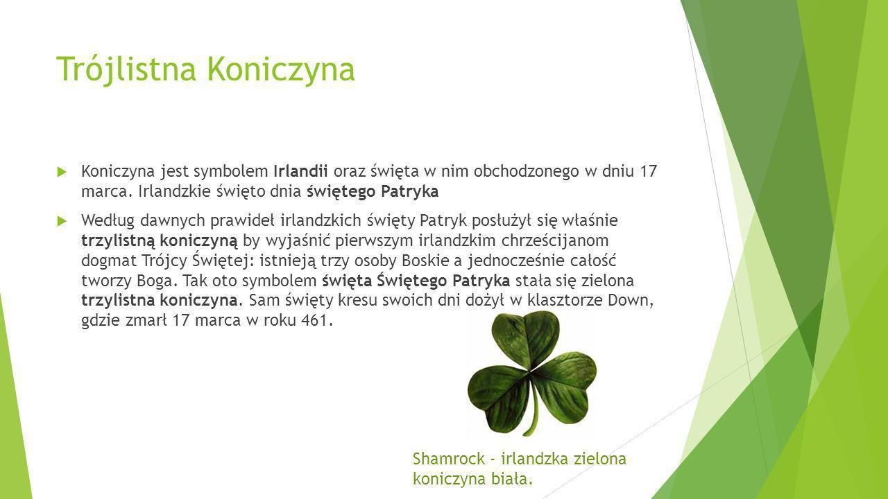 Trójlistna Koniczyna Koniczyna jest symbolem Irlandii oraz święta w nim obchodzonego w dniu 17 marca. Irlandzkie święto dnia świętego Patryka.