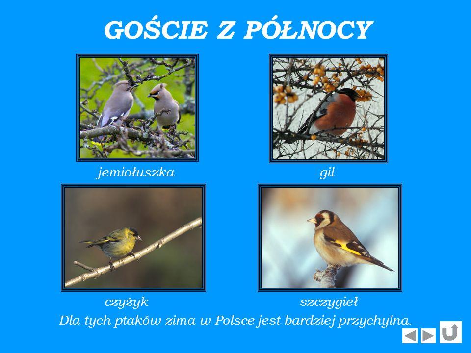 Dla tych ptaków zima w Polsce jest bardziej przychylna.