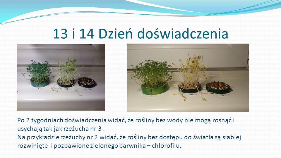 13 i 14 Dzień doświadczenia Po 2 tygodniach doświadczenia widać, że rośliny bez wody nie mogą rosnąć i usychają tak jak rzeżucha nr 3 .